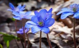 蓝色woodflowers 免版税图库摄影