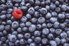 蓝莓一个莓 免版税图库摄影