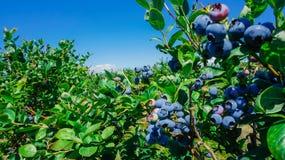 蓝莓农场在伯灵屯,华盛顿 免版税库存照片