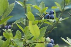蓝莓分支 图库摄影