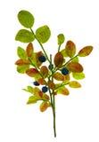 蓝莓分行查出的白色 库存照片