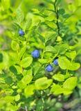 蓝莓分行美洲越桔 免版税库存图片