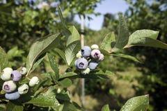 蓝莓分行 库存图片