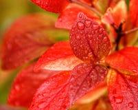 蓝莓叶子 免版税图库摄影