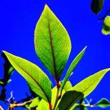 蓝莓叶子 库存照片