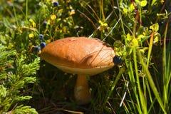 蓝莓和棕色盖帽牛肝菌蕈类在森林里 免版税库存图片