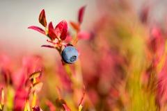 蓝莓和秋天颜色 库存照片