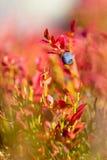 蓝莓和秋天颜色 库存图片