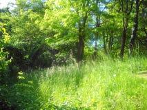 蓝莓和蒲公英在金合欢树丛的草原 免版税库存图片