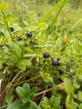 蓝莓在夏天森林里 库存照片