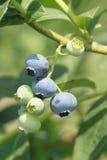 蓝莓在夏天 免版税库存照片