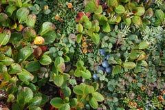 蓝莓在寒带草原 库存图片