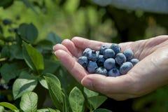 蓝莓在手中 免版税库存图片