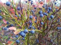 蓝莓天堂 图库摄影