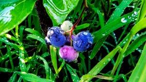 蓝莓小树枝在灌木的与水下落 生长本质上的蓝莓 库存图片