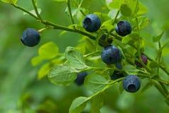 蓝莓小树枝 库存照片