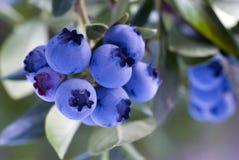 蓝莓岩高兰之类 库存照片