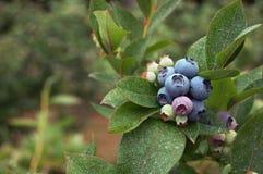 蓝莓布什 免版税库存图片