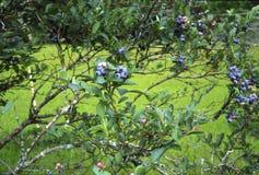 蓝莓布什 库存图片