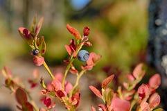 蓝莓布什 免版税图库摄影