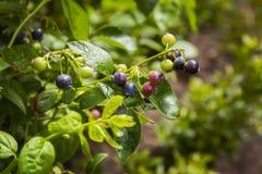 蓝莓布什 库存照片
