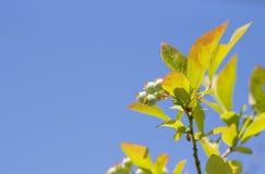 蓝莓开发 库存图片