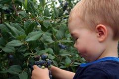 蓝莓挑选 免版税库存照片