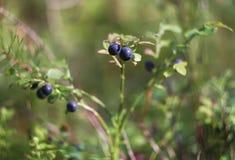 蓝莓新鲜成熟 免版税图库摄影