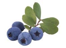 蓝莓束起新鲜 免版税库存照片