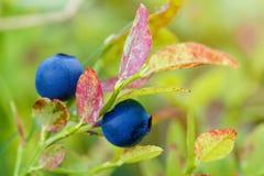 蓝莓枝杈,蓝莓灌木在夏时的一个庭院里 宏指令 库存照片