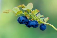 蓝莓枝杈,蓝莓灌木在夏时的一个森林里 宏指令 库存图片