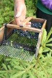蓝莓梳子挑选 库存照片