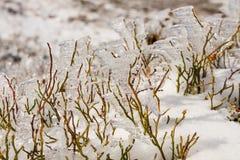 冻蓝莓灌木在冬天 免版税库存图片