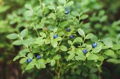 蓝莓灌木在森林里用成熟莓果 免版税库存照片