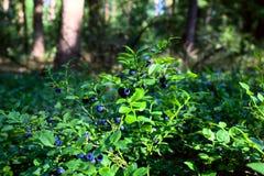 蓝莓灌木在森林里 免版税库存图片