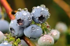 蓝莓灌木雨 库存图片