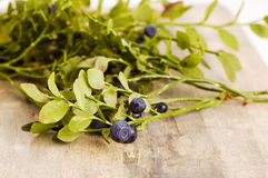 蓝莓灌木 免版税库存图片