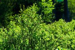 蓝莓灌木 库存图片