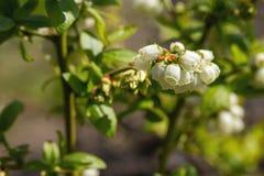 蓝莓牛痘corymbosum,开花 免版税库存照片