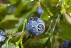 蓝莓用水在太阳的codepad光芒以后滴下 免版税库存照片