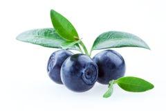 蓝莓空白查出的叶子 库存照片