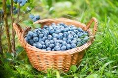 蓝莓篮子 在柳条筐的成熟越桔 免版税库存图片