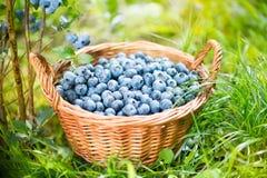 蓝莓篮子 在柳条筐的成熟越桔 免版税图库摄影