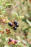 蓝莓群 免版税库存图片