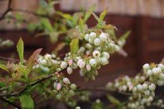 蓝莓芽 免版税库存照片