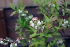 蓝莓芽 图库摄影