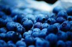 蓝莓采摘滋补的夏令时很可口和! 库存图片