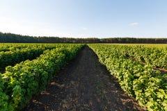 蓝莓,灌木灌木用反对蓝天的未来莓果 农场用莓果 免版税库存图片