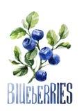 蓝莓 手在白色背景的图画水彩与标题 向量例证