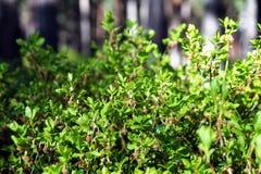 蓝莓(牛痘myrtillus) 与花的灌木 免版税库存图片